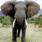 Facts about the African Elephant