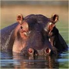 Fluffy African Hippos