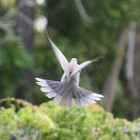 Dove (A Sonnet)