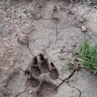 Nature's Footprints – How to Identify Animal Tracks