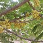Under the Gooseberry tree