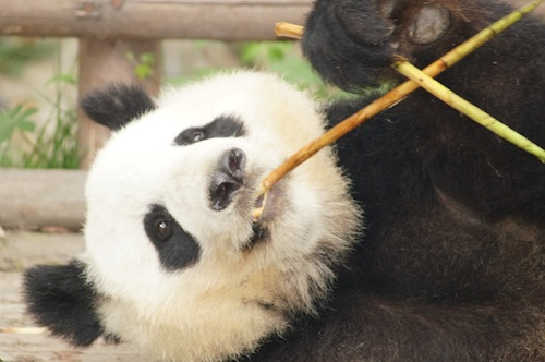 06 Nonfiction Story – Don't behave like a Giant Panda, Pic 2