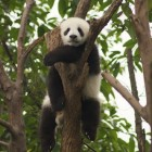 Don't Behave Like a Giant Panda