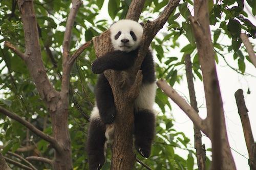 06 Nonfiction Story – Don't behave like a Giant Panda, Pic 3