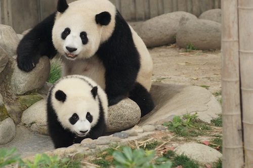 06 Nonfiction Story – Don't behave like a Giant Panda, Pic 4