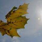 Leaf in Sun