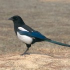 The Little Magpie