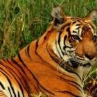 Staring AT the Tiger