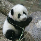 A Panda Comes Home