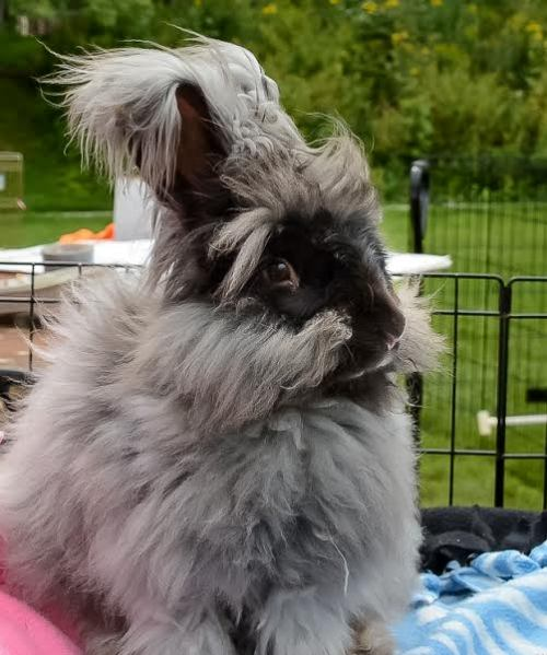 A picture of Wachamacallit, one of Caleb's angora rabbits that always captures the crowd's heart.