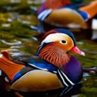 Mandarin Duck: The Most Beautiful Duck