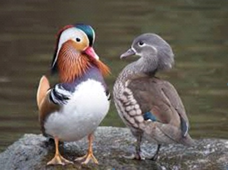 A Male and Female Mandarin Duck