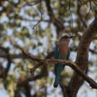 Rolling in the Deep (The Indian Roller)