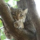 Protecting the New Hampshire State Wildcat, the Bobcat!