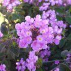 The Purple Wonders