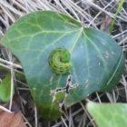 The Green, Little Caterpillar