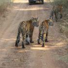 Tigers Twinning