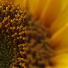 Sunflower Sonnet